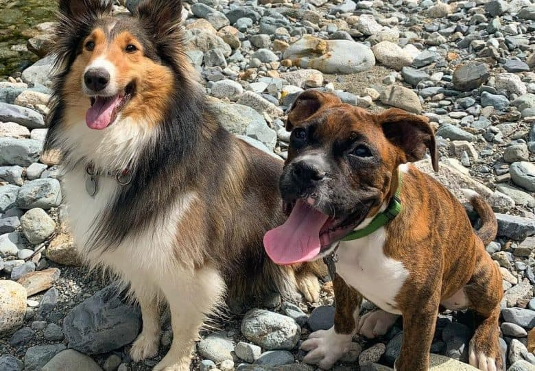 a Sheltie and Boxer sitting on a pebbled road