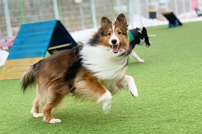 a Sheltie hopping and running while hair is flying