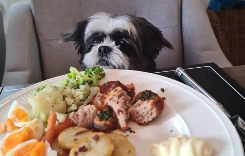 a Shih Tzu Maltese sitting with a plate full of food