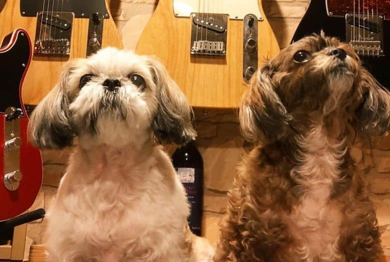 Two Shih Tzu Poodle mix dogs with guitar collection