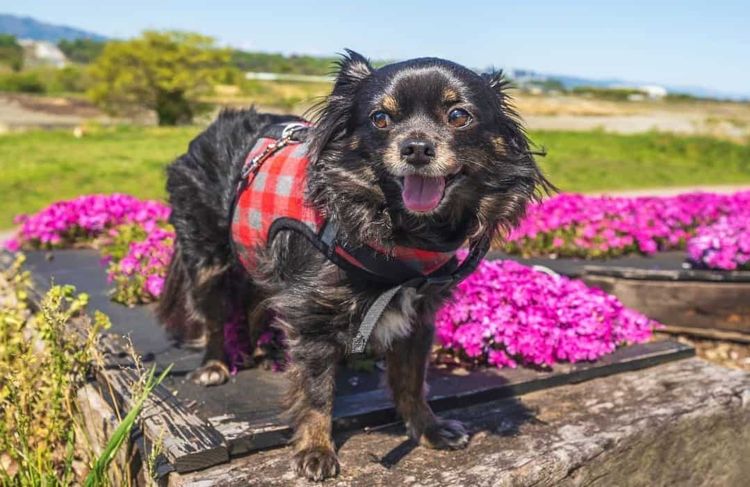 a happy black Chihuahua wearing a pink harness enjoying the purple flowers