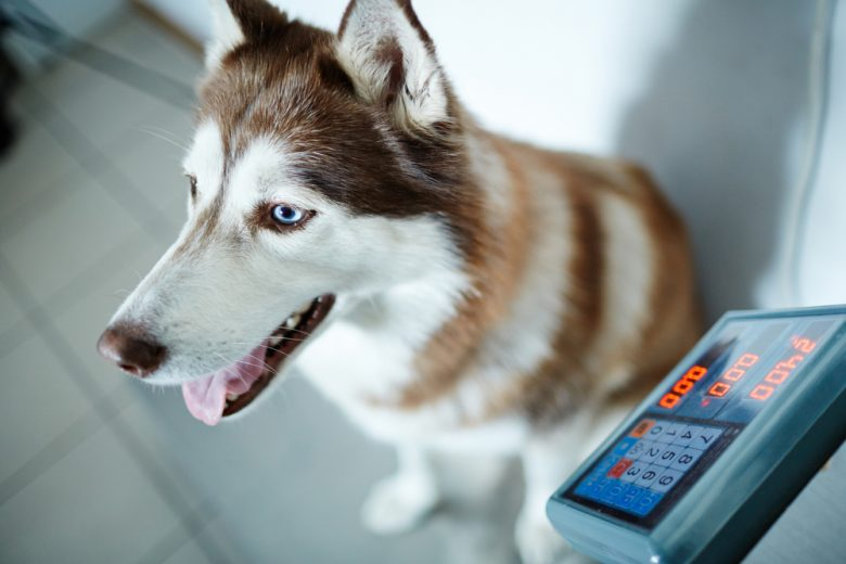 a Siberian Husky happily sitting on a scale