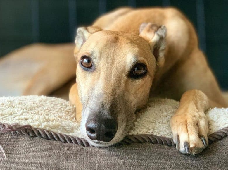 a Greyhound with sensitive stomach on a resting period