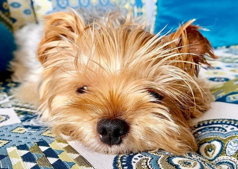 a Yorkshire Terrier resting on the bed