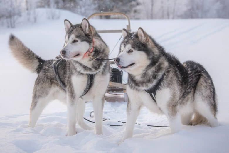 two Alaskan Malamutes ready to sled