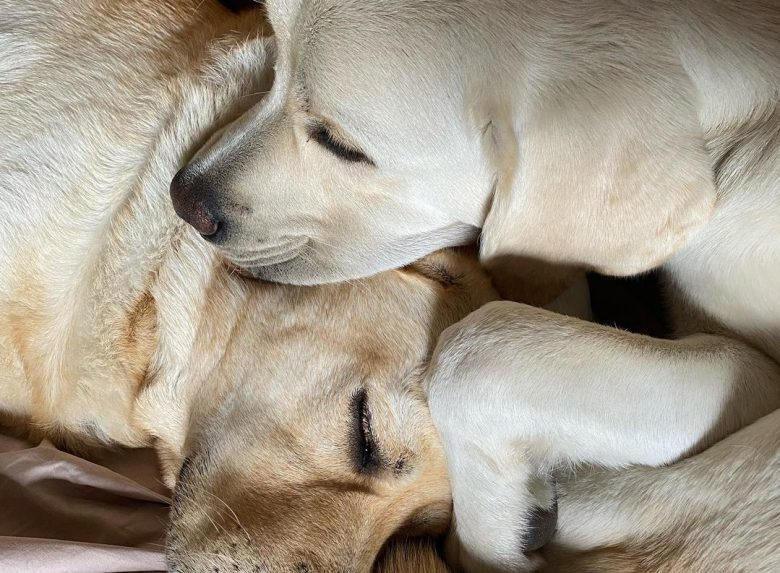 Two adorable Labrador puppies cuddling to sleep