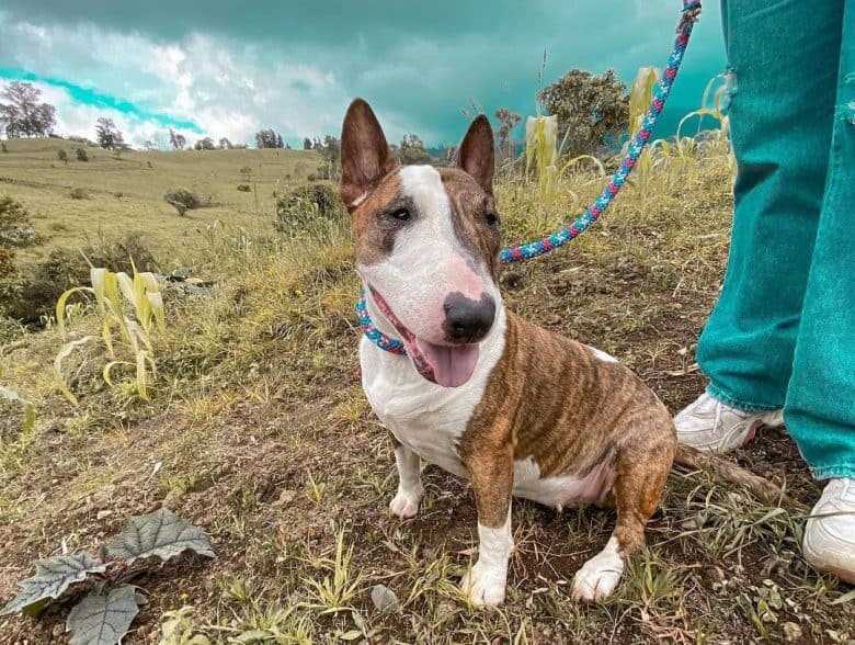 a Bull Terrier sitting with owner