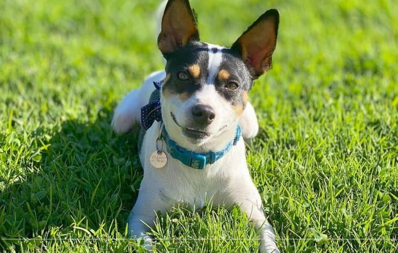 A Rat Terrier wearing a blue collar while laying under the sun
