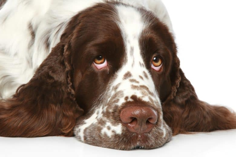 a close up image of a Springer Spaniel laying sadly
