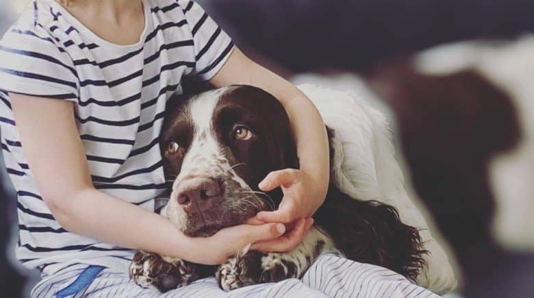 a Springer Spaniel being cuddled by a child