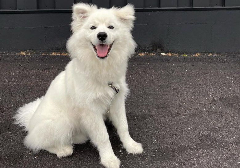 a lovable American Eskimo sitting on the pavement
