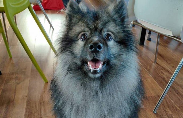 a Keeshond sitting while mouth is open
