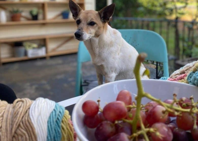 A Tenterfield Terrier sitting on a chair while gazing at grapes