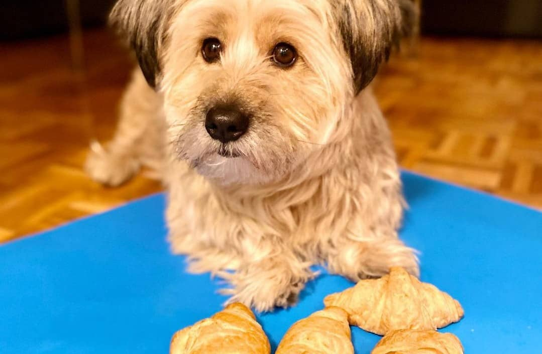 A Terrier mix laying on a blue mat with croissants
