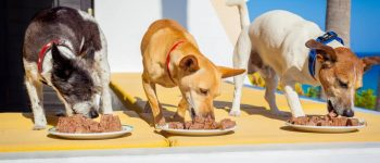 Three healthy dogs eating wet dog food on a porch