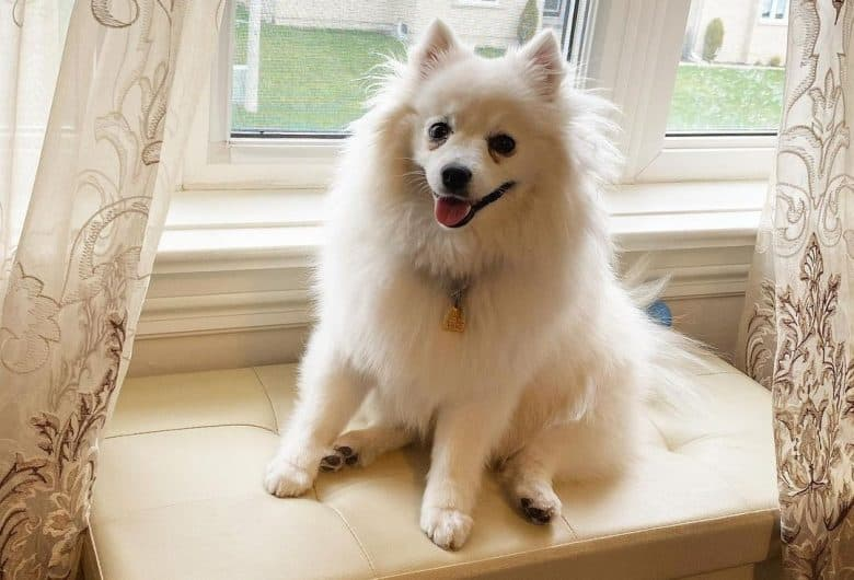 A Toy American Eskimo sitting near a window