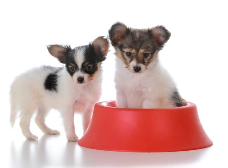 Two Papillon puppy with a red dog bowl