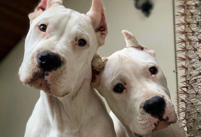 Two adorable Dogo Argentino looking down
