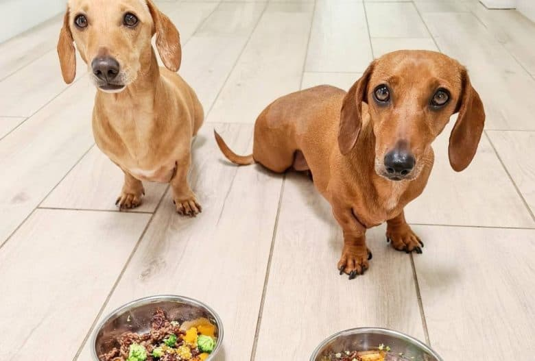 two cute Doxies sitting with their healthy meal upfront