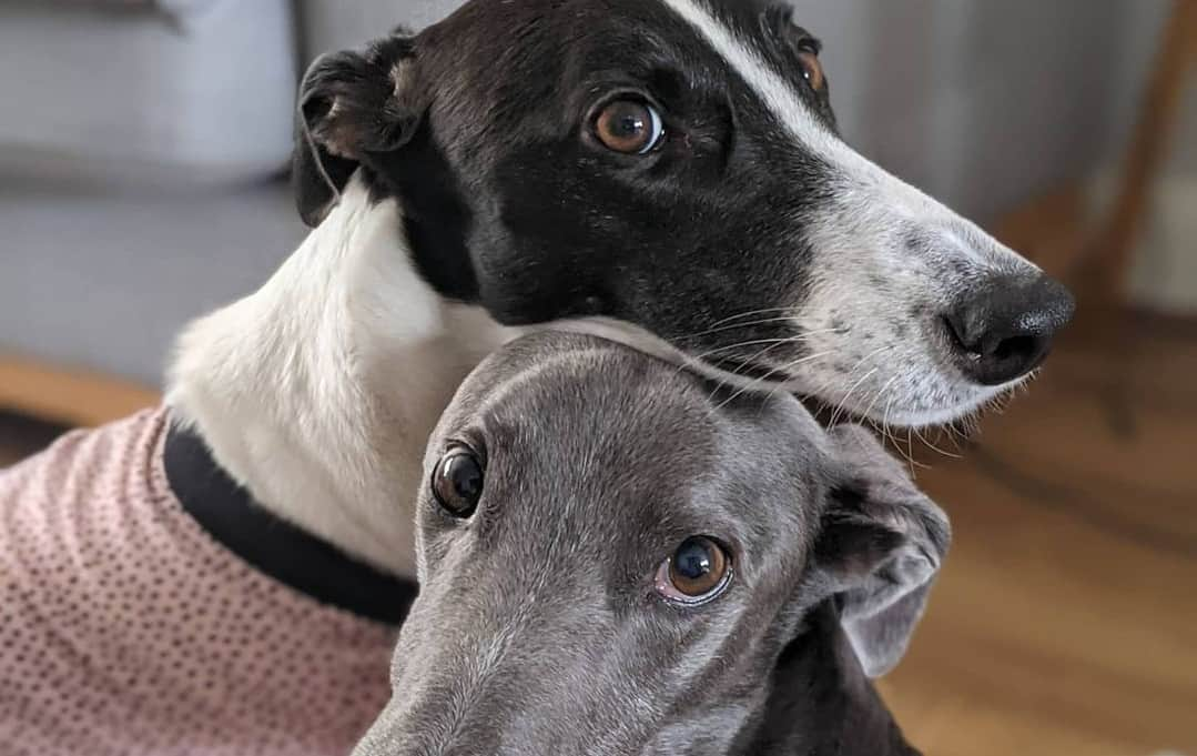 Greyhounds wearing sweater