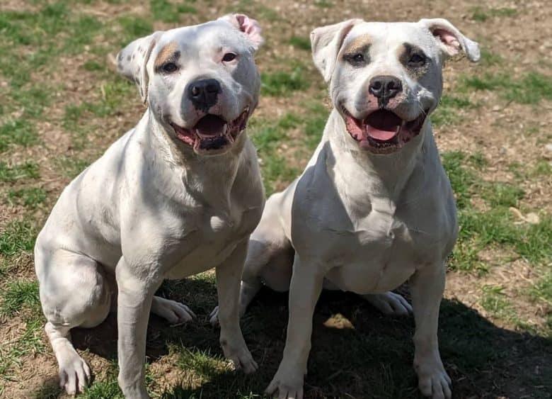 two happy American Bulldogs sitting