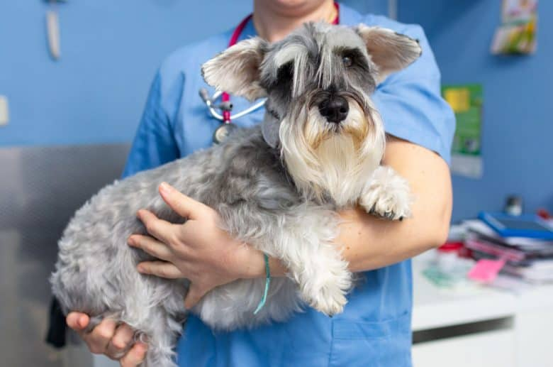 Veterinarian carried Schnauzer dog for consultation