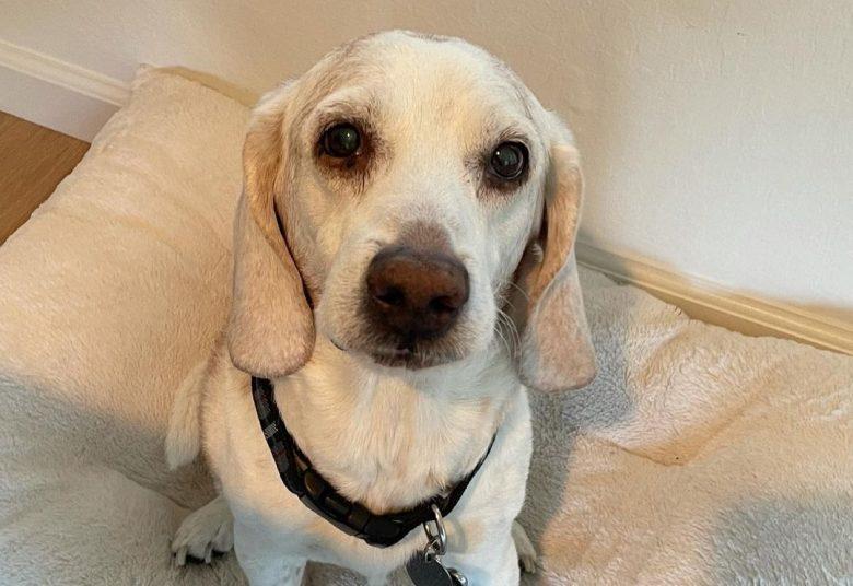 a senior Beagle sitting on a soft cushion