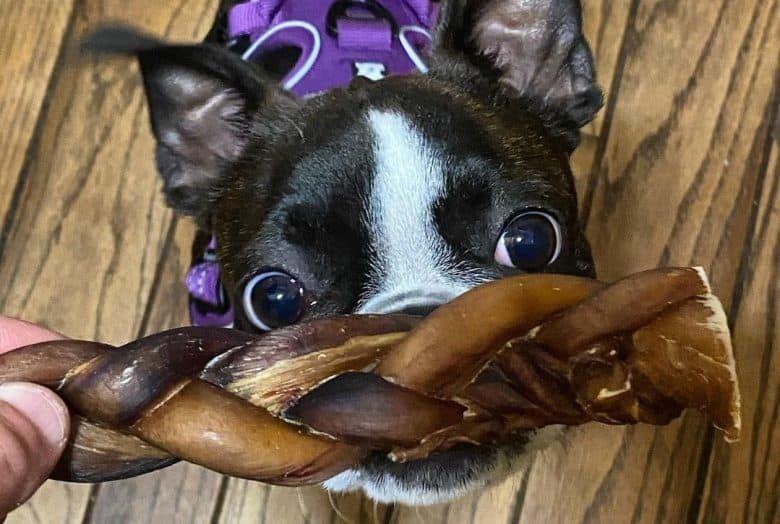 a Boston Terrier reaching for her bully stick