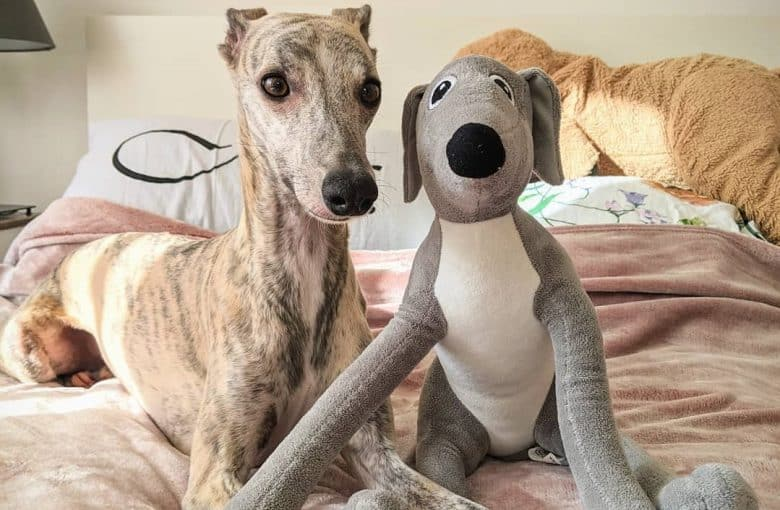 a Whippet with its whippet toy