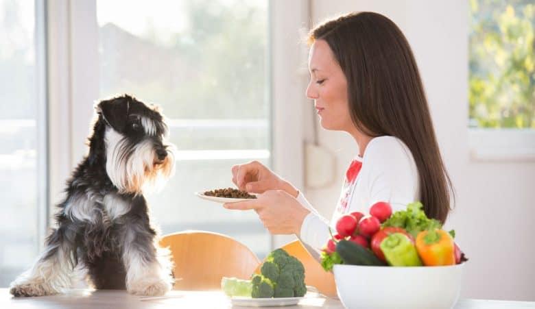 Woman feeding Miniature Schnauzer dog with food pellets