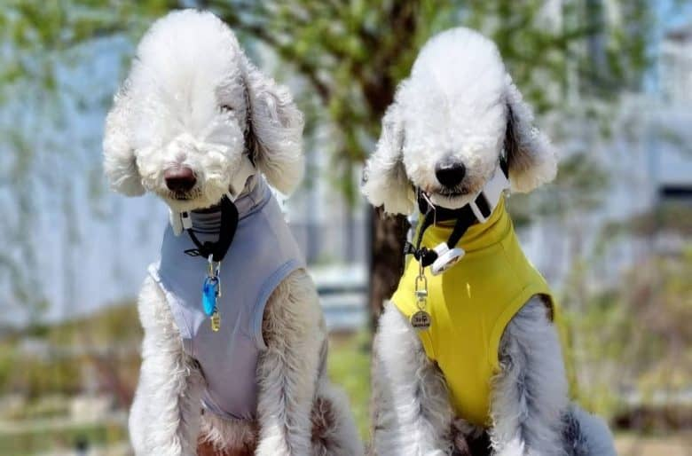 two adorable Bedlington Terrier wearing blue and yellow harness sitting