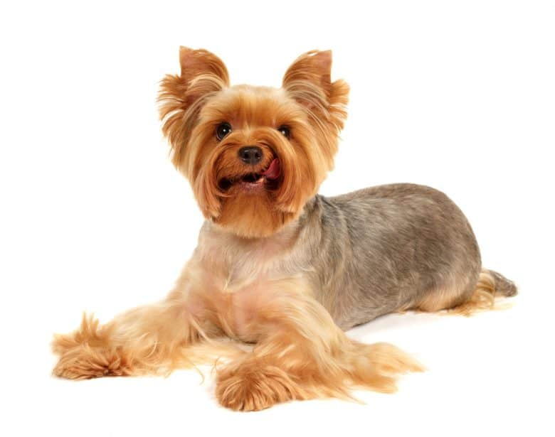 a cute Yorkie licking its face while laying down