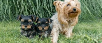 A mom Yorkshire Terrier sitting with her puppies