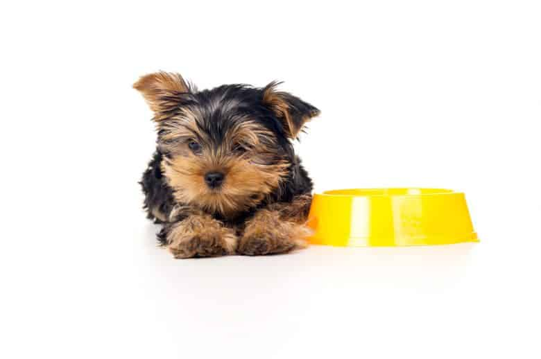 A Yorkie laying down beside a yellow dog bowl