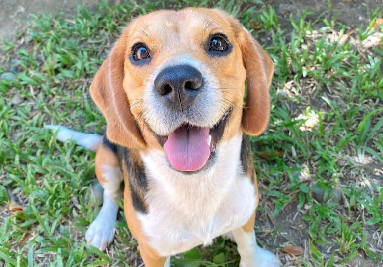 an adorable Beagle sitting and looking up