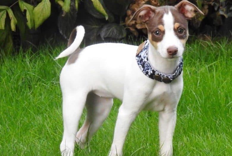 a Mini Rat Terrier puppy wearing a snap collar