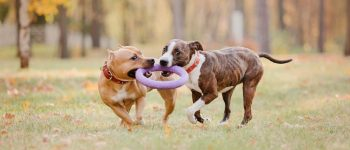 two American Staffordshire Terriers outdoors