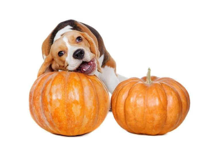 a Beagle biting the pumpkin stem
