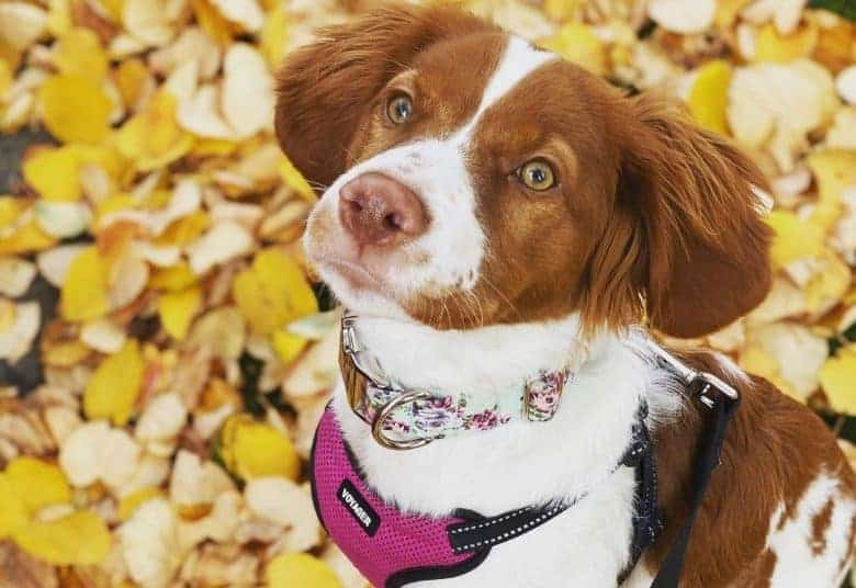 a captivating Brittany Spaniel wearing a floral collar