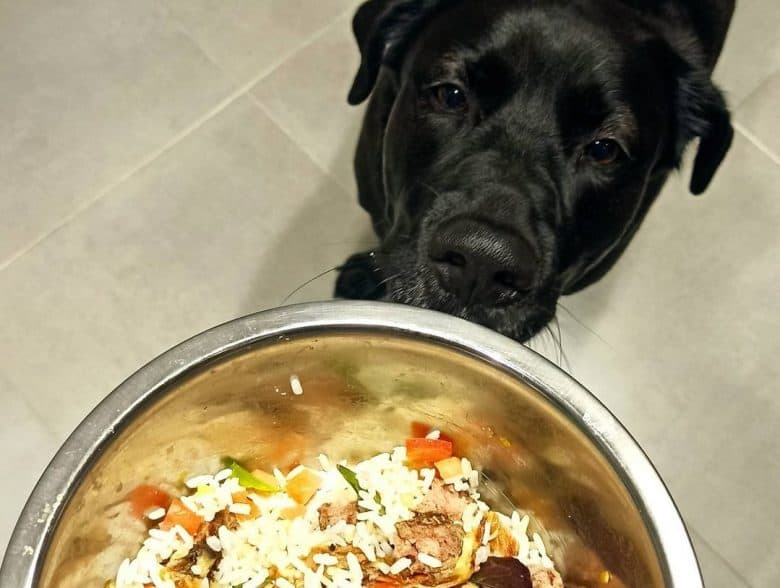 a Black Labrador checking out what is his meal