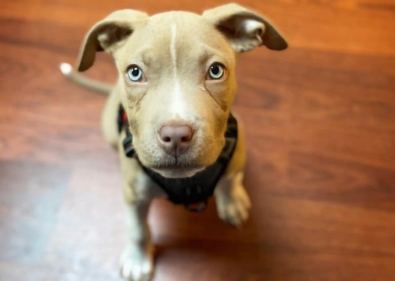 a Pitbull puppy with blue eyes looking up