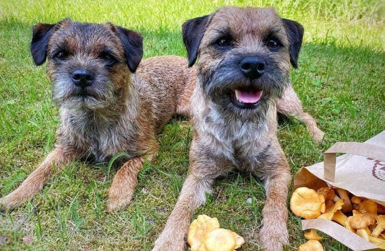 two Border Terriers located mushrooms in a forest