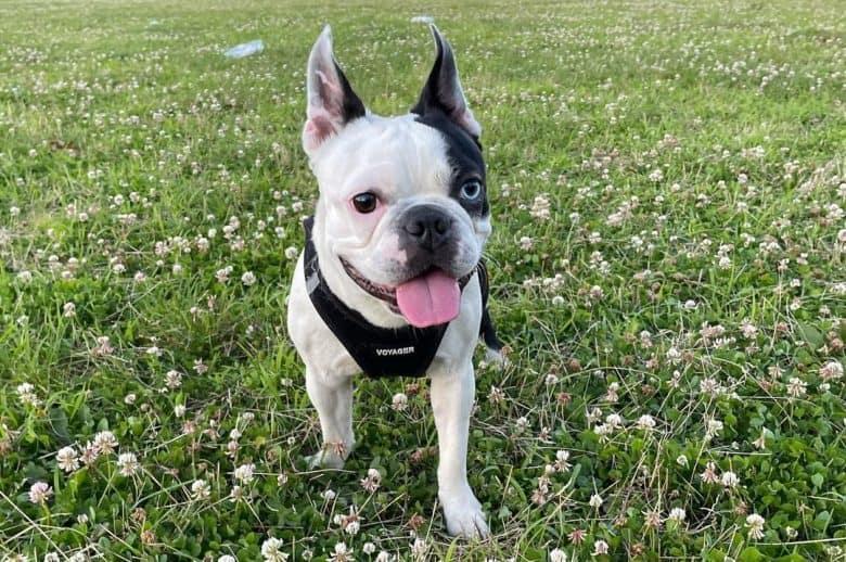 Boston Terrier enjoying the outdoors