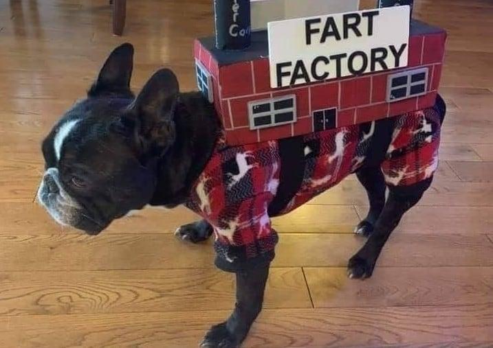 a Boston Terrier wearing a fart factory costume