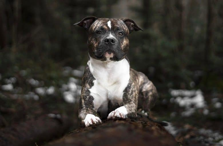 a Brindle American Staffordshire Terrier in a tree trunk