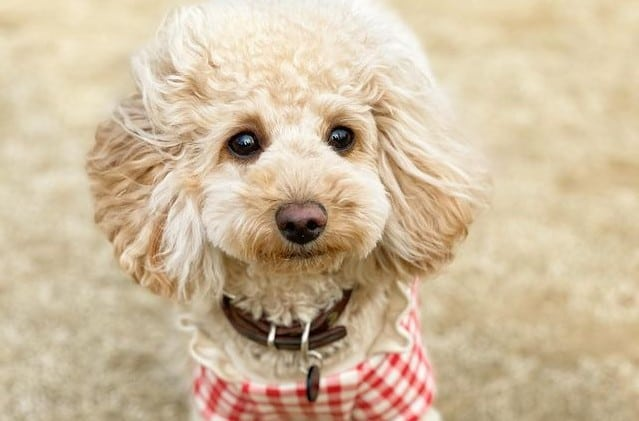 a Toy Poodle enjoying the sand
