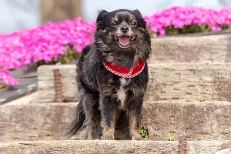 a precious Chihuahua standing near pink flowers