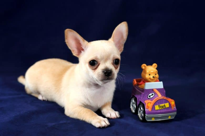 a cute Chihuahua with toy car