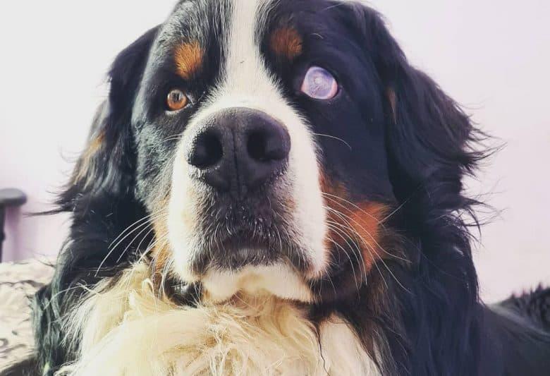 a charming Bernese Mountain dog