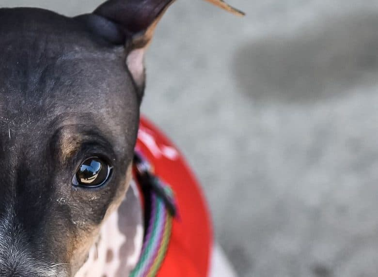 a close-up image of the wondering eyes of an American Hairless Rattie